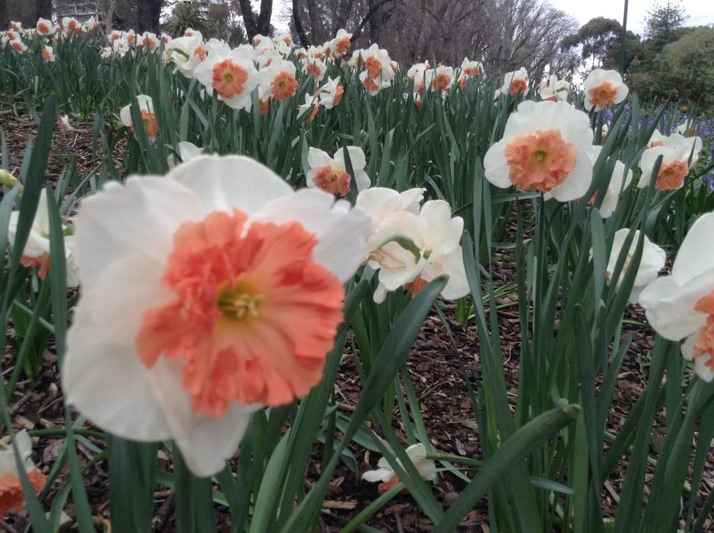 Tulips At Fitzroy Gardens In Melbourne, Australia. (Image: Trisha  Haddock/Vision