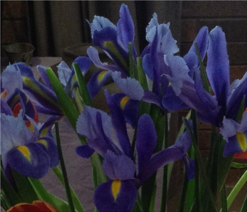 Enjoy the beauty of the flowering iris codec prime a new cut flowers dutch iris image trisha haddock vision times izmirmasajfo