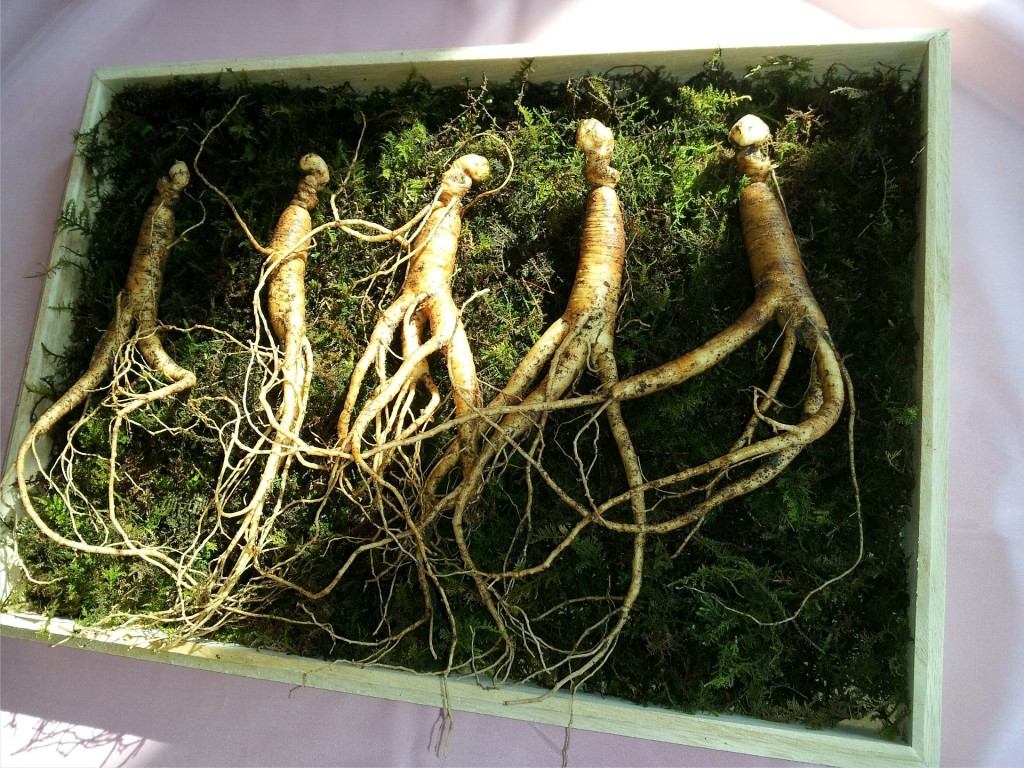 Ginseng root has been used as a medicinal supplement and a natural remedy for a long time, especially in Asia. (Image: markroad PixabayCC0