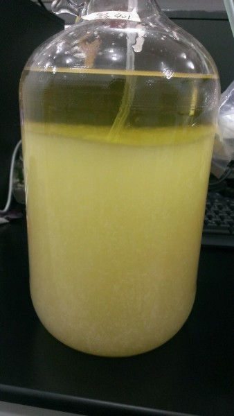 Niu Zhang Mushroom growth in liquid broth. (Image Courtesy of 3i Agricultural BioTech Group)