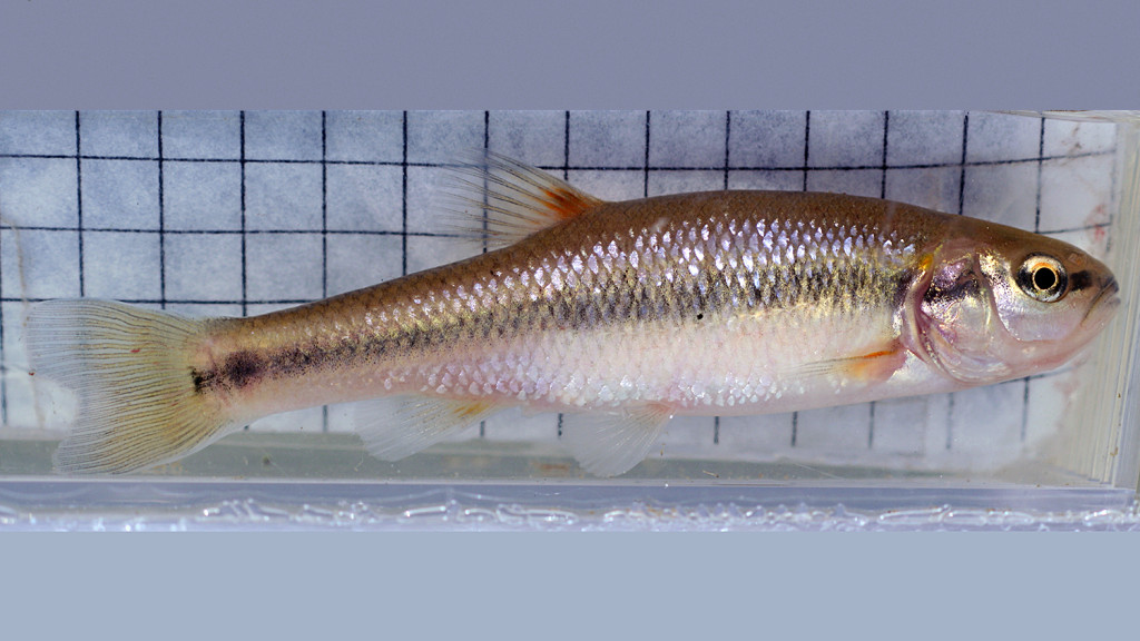 Urban creek chub like the one pictured above have deeper bodies and are less streamlined than rural counterparts. (Image: courtesy of Elizabeth Kern)