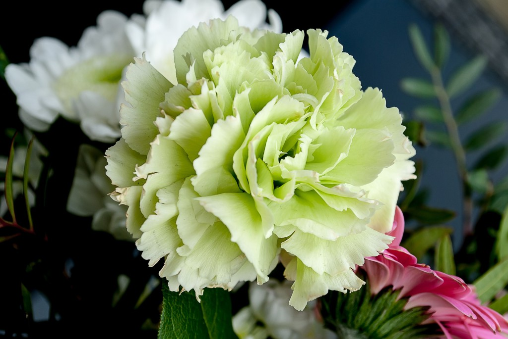 A white carnation, symbol of Mother's Day. (Image:  pixabay  /  CC0 1.0)
