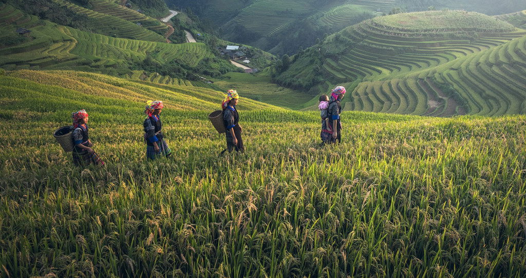 A new study examines how the interdependent rice-farming culture and the independent wheat-farming culture have affected today's residents in China. (Credit: University of Chicago)