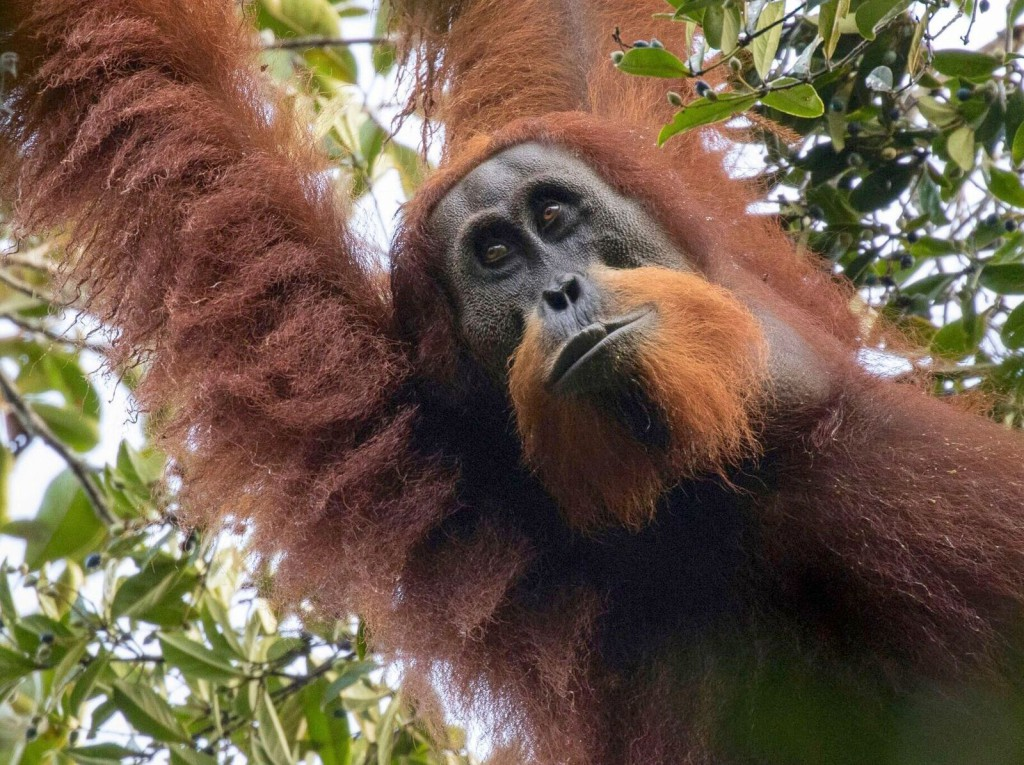 The  Tapanuli  orangutan,  a  desperately  endangered  species  with  only  800  individuals  alive,  is  being  imperiled  by  a  Chinese-funded  hydropower  project  in  Sumatra,  Indonesia.  (Image: (c) Maxime  Aliaga).