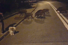 Wild Pigs crossing the road in Hong Kong's Bay Area scavenging for food. (Image: Mona Song / Vision Times)