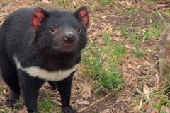 Human Anti-Cancer Drugs May Just Help Tasmanian devils